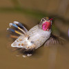 Anna's Hummingbird, Female performing a high-speed stop with landing gear retracted!