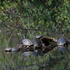 9/17/12 went to the Ridgefield Natural Wildlife Refuge this weekend, didn't get any good birds photos but did come across these turtles sunning themselves on a log in the middle of a pond. I never knew that turtles could move so fast, got this shoot off and just like that they were all in the water and out of site. I was disappointed that I didn't get any more chances to photograph them.  I really like the reflections of the trees in the pond.