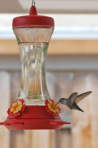 Humming Bird from my livingroom window.