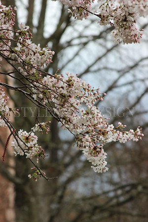 Cherry Blossoms blossom at University - March 2015