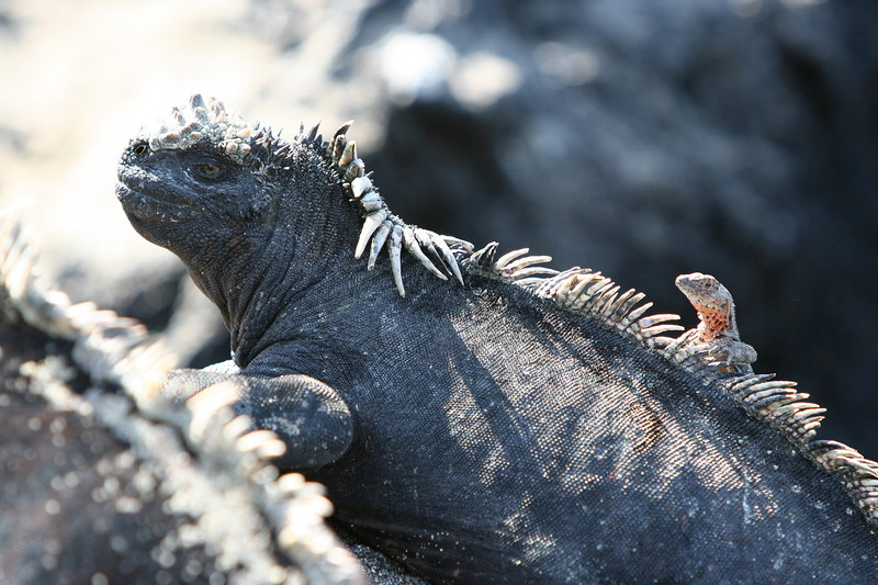 Marine iguana with Lava Lizard on his back