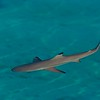 Blacktipped Reef Shark