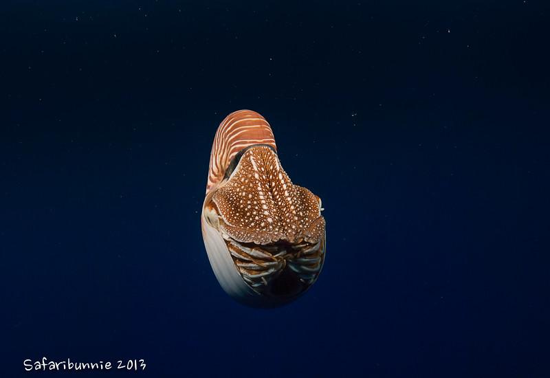 Nautilus - Palau by Tracey Jennings