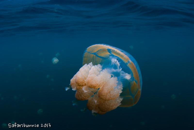 Jelly fish lake - Palau by Tracey Jennings