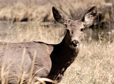 Deer Staredown