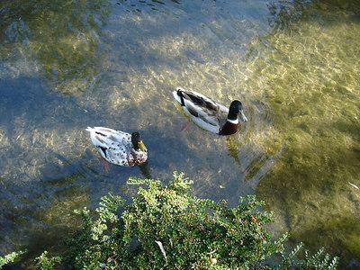 Ducks in Lower Slaughter