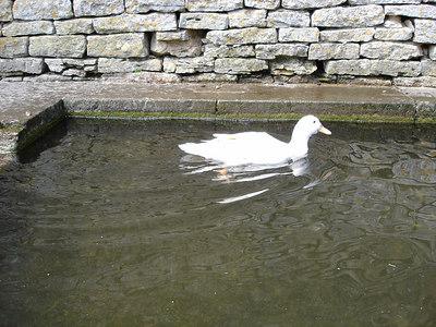 Bisley duck