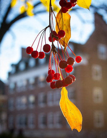 Winterberries off the Green at Dartmouth College in Hanover, NH