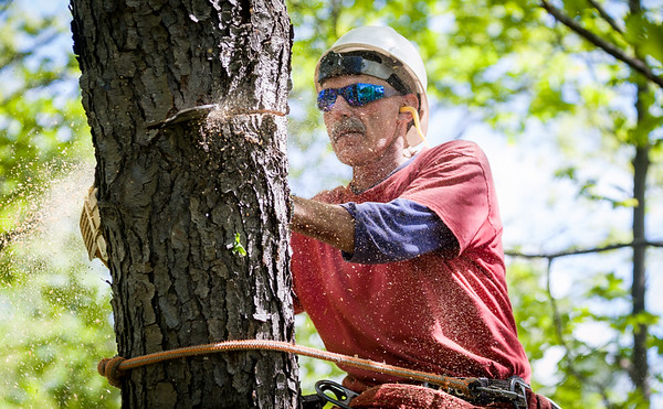 Arborist Rob Ogus cuts a section from a dying cherry tree in Norwich, Vermont
