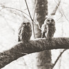 barred-owls-washington-july-14-2016-ii