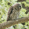 barred-owl-whidbey-island-july-17-2016-v