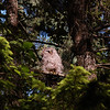 barred-owl-juvenile-june-sunbathing