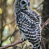 barred-owl-washington-state