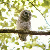 barred-owl-juvenile-june-iii