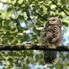 owl-barred-strix-varia-juvenile-branch-looking-up-washington
