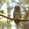 owl-juvenile-looking-at-camera-daylight-whidbey