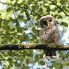 owl-barred-strix-varia-juvenile-branch-looking-at-declan-travis