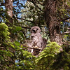 barred-owl-juvenile-june-stretch
