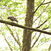 barred-owl-washington-july-14-2016-mossy