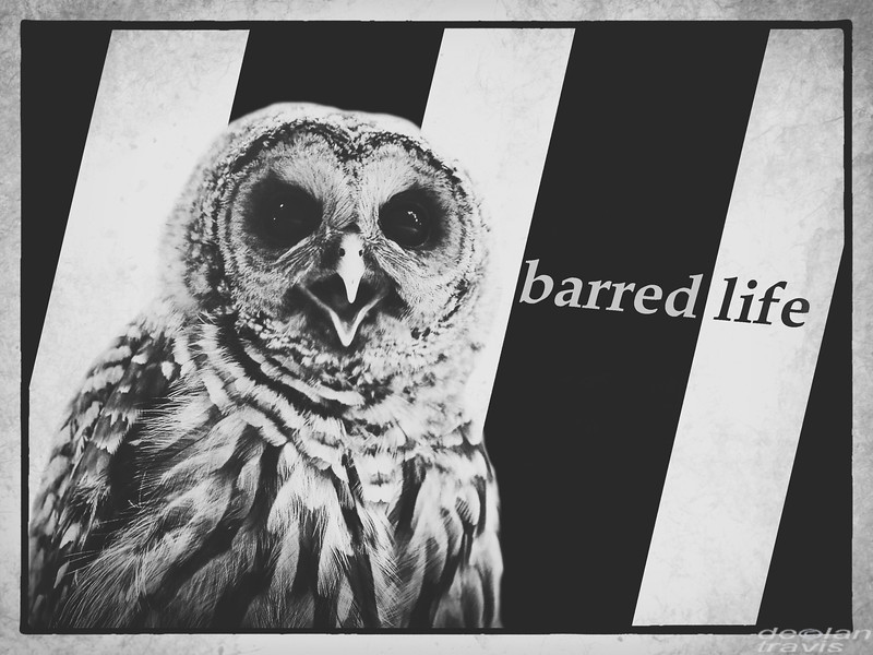 barred-life-owl-stripes-text-declan-travis