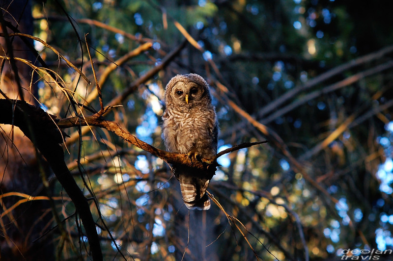 barred owl barred life pacific northwest