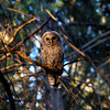 barred-owl-washington-state-pacifica-bon-viva-loco