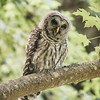 barred-owl-whidbey-july-17-2016-vii
