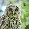 barred-owl-whidbey-island-july