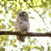 barred-owl-juvenile-june-iv