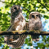 two-fledgling-owls-perched-stretching-looking-camera-whidbey-island