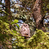 barred-owl-juvenile-june-eyes-open