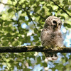 owl-barred-strix-varia-juvenile-branch-beak-open