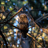 barred-owl-whidbey-napping-eyes-closed