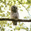 barred-owl-juvenile-june-2016-ii