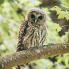 barred-owl-whidbey-july-17-2016-vi