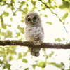 barred-owl-juvenile-june-2016