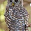 owl-fledge-barred-life-whidbey-island