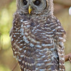 owl-fledge-barred-life-whidbey-island
