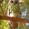 full-frontal-owl-on-branch-looking-skyward