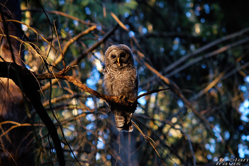 barred owl barred life whidbey island