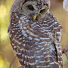 fledgling-owl-barred-life