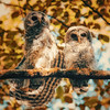 two-fledgling-owls-perched-stretching-looking-camera-whidbey-isl
