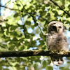 owl-barred-strix-varia-juvenile-branch-eyes-open-sunlight