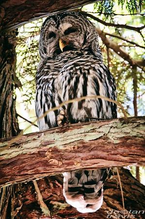 barred-owl-flash-portrait-washington-4