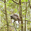 barred-owl-swallowing-bird-frame-4
