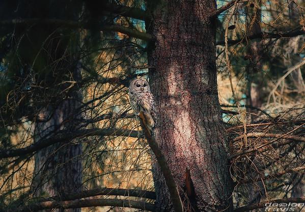 autumn-owl-barred-life-7