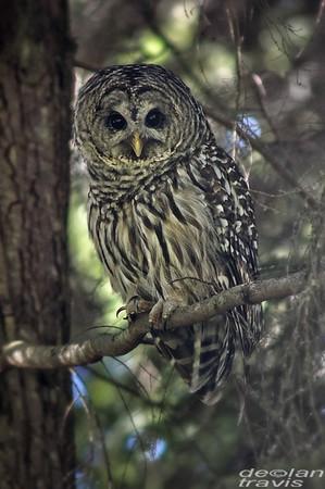 barred-owl-july-31-2017-12-whidbey-island