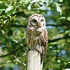 barred-owl-june-third-2016-v