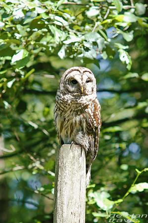 barred-owl-june-third-2016-v