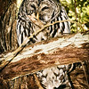 barred-owl-flash-portrait-washington-1